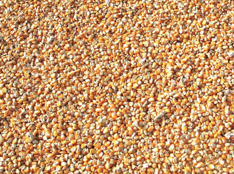 Corn-Maize-TOSK-Global-Ventures.jpg